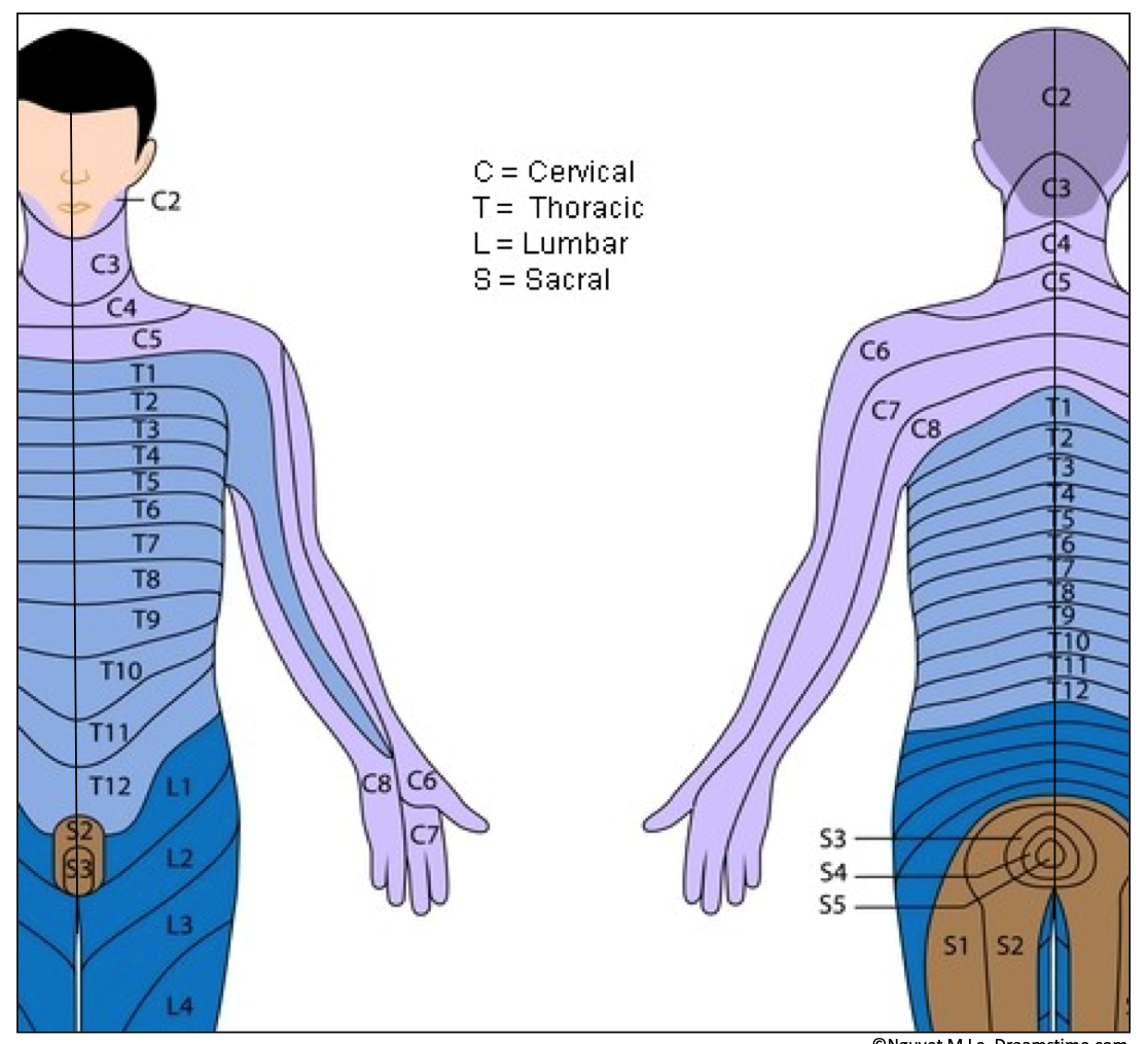 Dermatomes of Neck and Chest