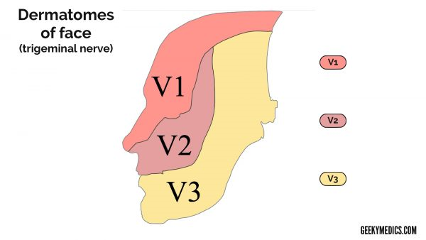 Dermatomes of the Face